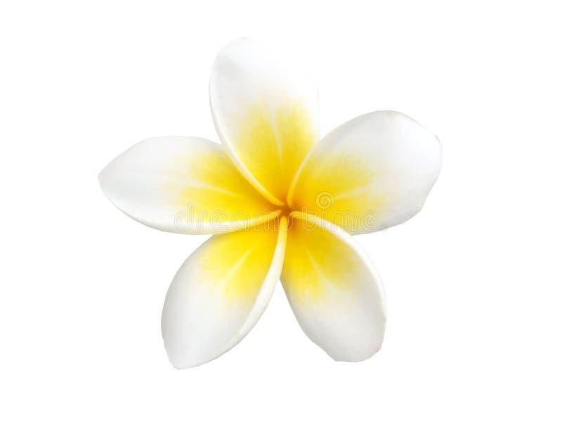Frangipani tropical de fleur d'isolement image stock