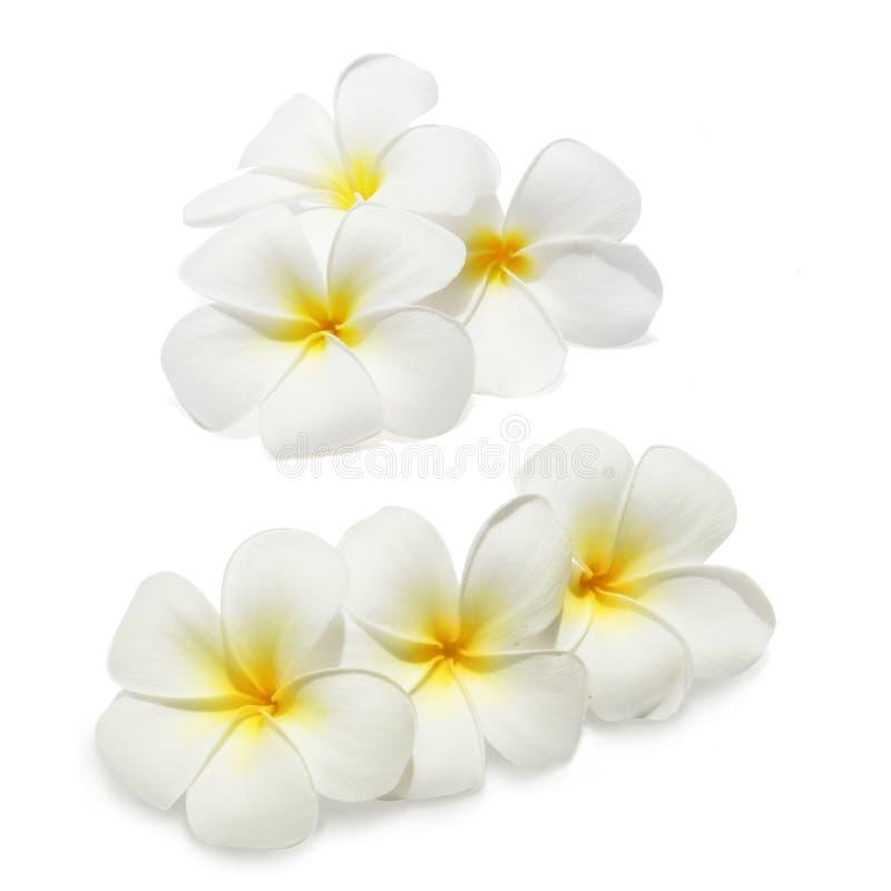 Frangipani tropical de fleurs images stock