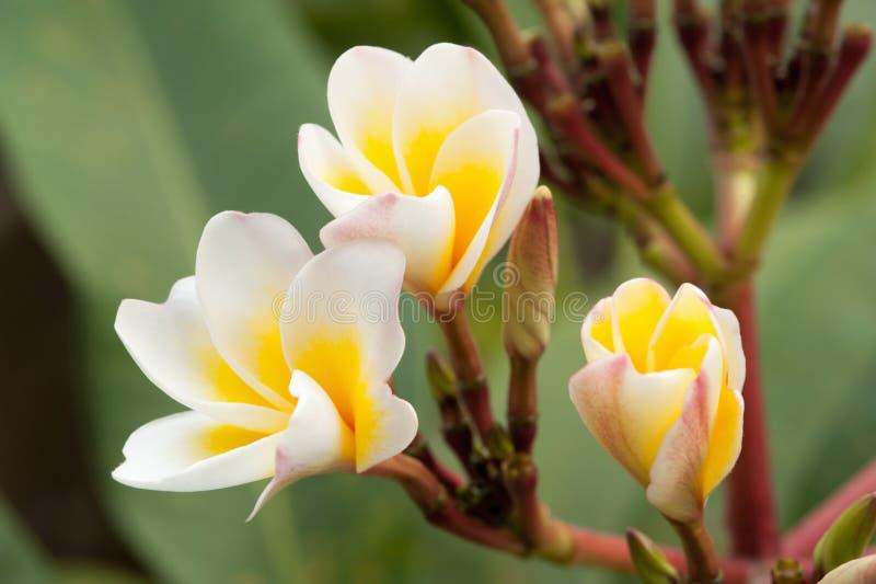 Frangipani tropical de fleurs photo stock