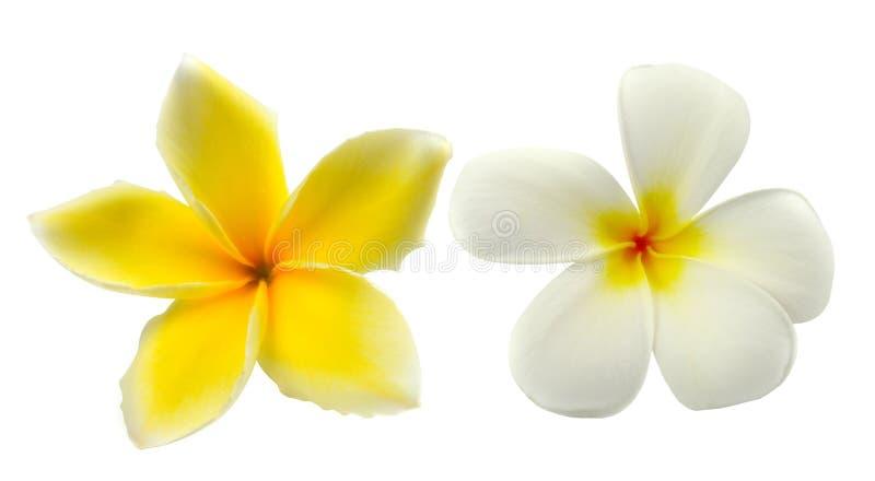 Frangipani tropical de fleurs (plumeria) d'isolement sur le backgro blanc image stock