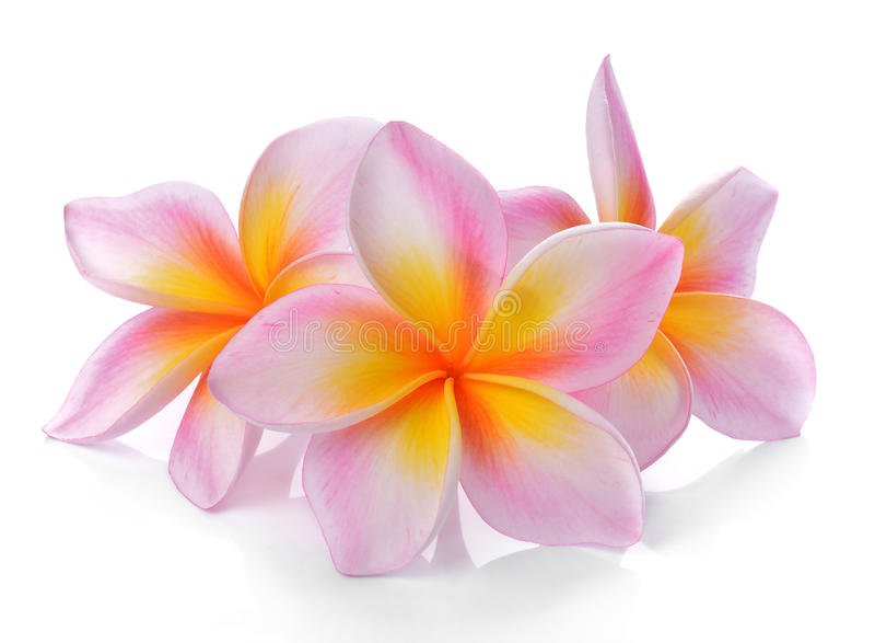 Frangipani tropical de fleurs (plumeria) d'isolement sur le fond blanc image stock