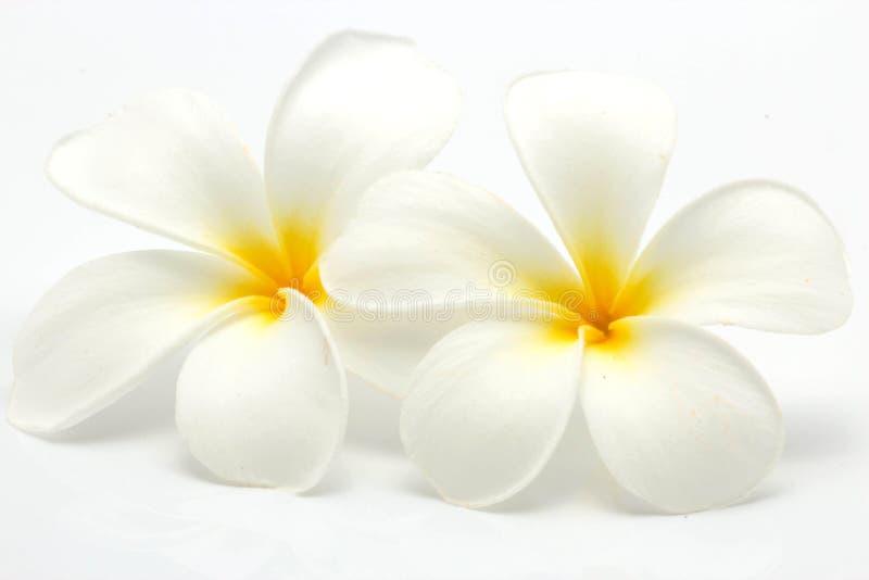 Frangipani tropical de las flores (plumeria) imagen de archivo libre de regalías