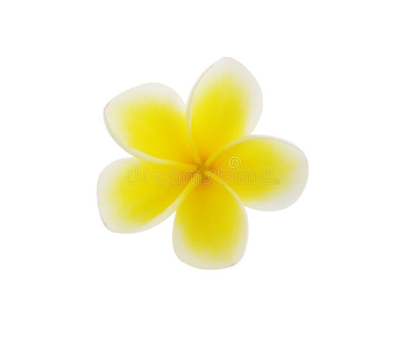 Frangipani tropical de las flores (plumeria) aislado en el backgro blanco fotos de archivo libres de regalías