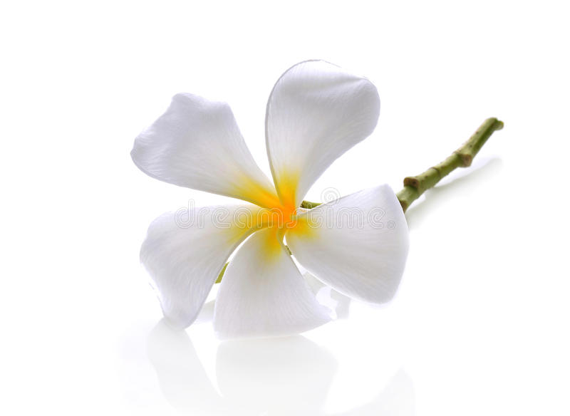 Frangipani tropical de las flores (plumeria) en el backgro blanco fotografía de archivo libre de regalías
