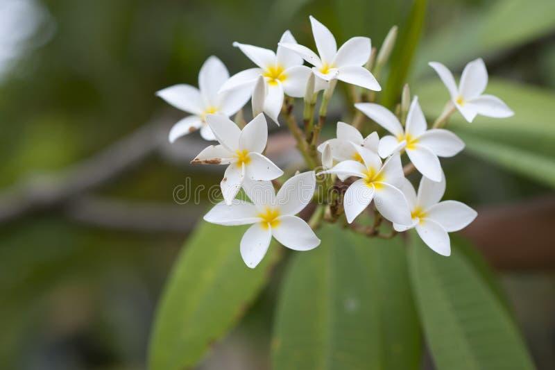 Frangipani tropical flower