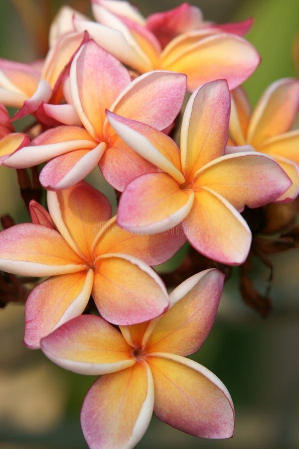 Frangipani in a tropical garden stock photos