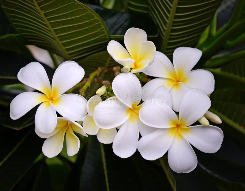 Frangipani tropicale dei fiori immagini stock