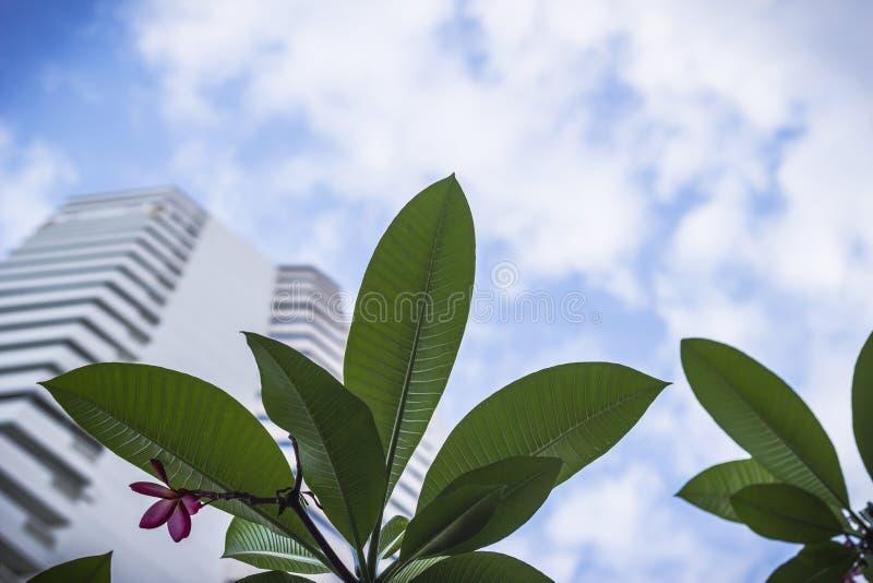 Frangipani tropische bloemen, Plumeria-bladeren stock foto