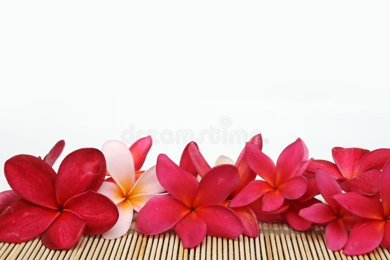 Frangipani vermelho com espaço branco fotos de stock royalty free