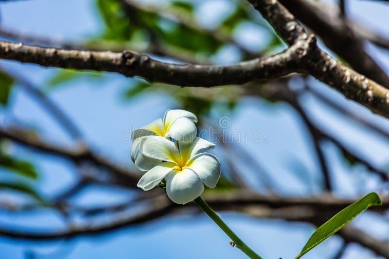 Frangipani von moorea Insel stockfotografie