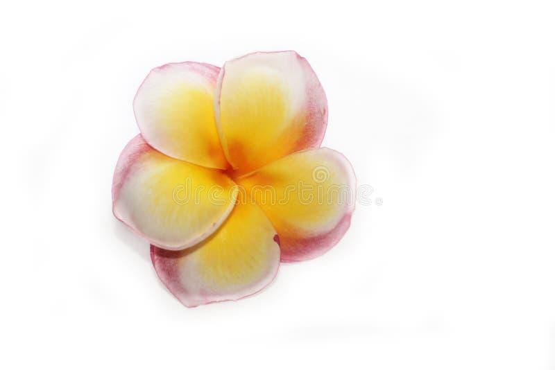Frangipani zdroju kwiaty odizolowywający Bali Plumeria w białym tle Jeden czerwony żółty frangipani kwiat na białym deskowym papi obrazy royalty free