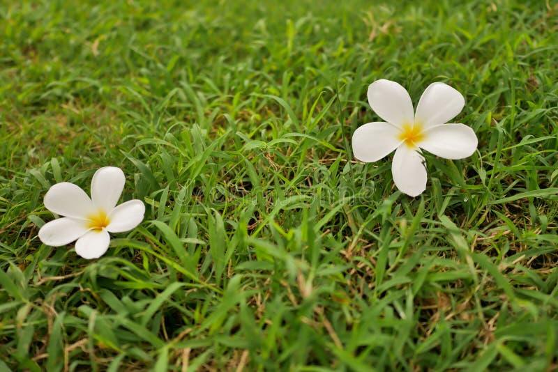Frangipanibloem op groen gras stock foto