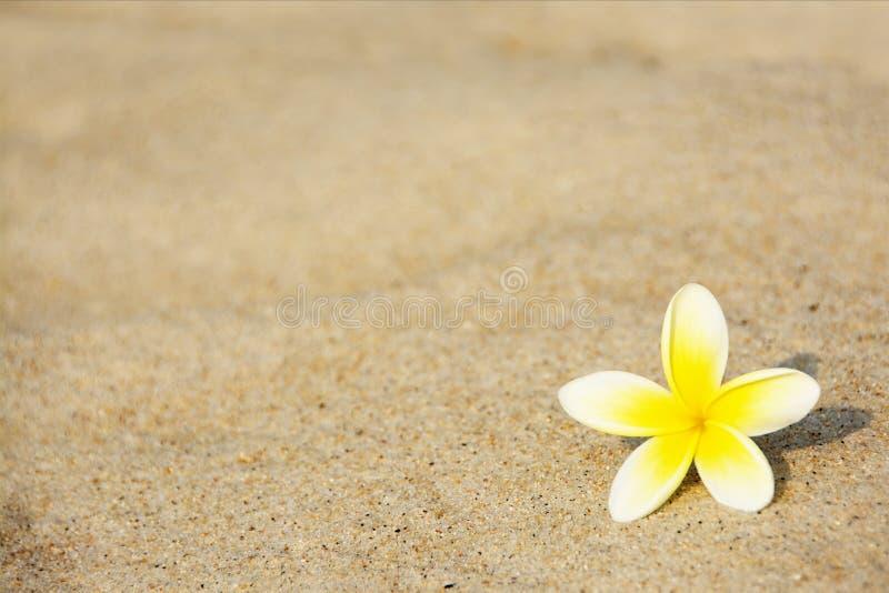Frangipaniblomma på stranden royaltyfri fotografi