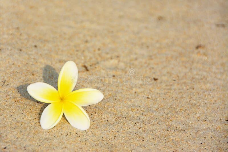 Frangipaniblomma på stranden royaltyfri foto