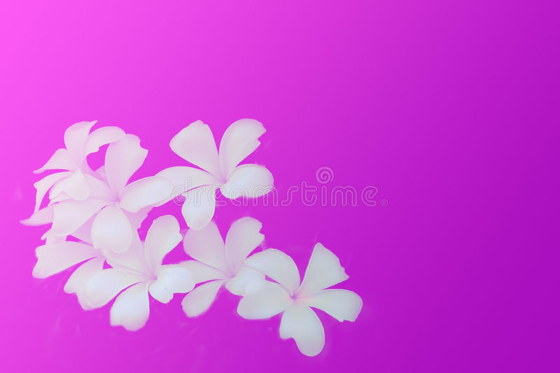 Frangipaniblommor på rosa och purpurfärgat bakgrundsutrymme för text royaltyfria foton