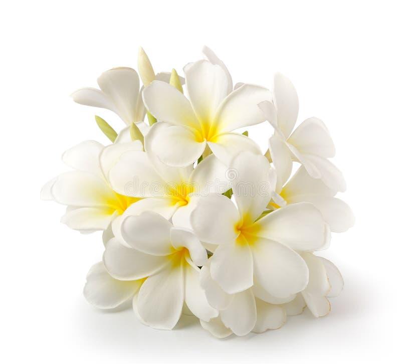 Frangipaniblume auf Weiß auf weißem Hintergrund lizenzfreie stockbilder