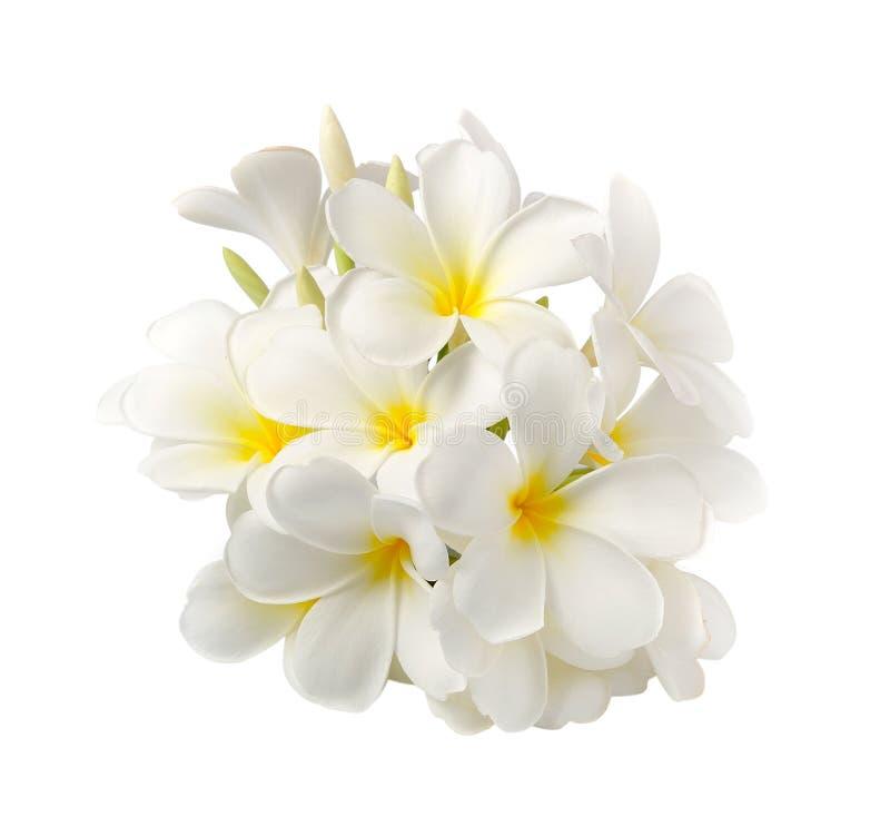 Frangipaniblume auf Weiß auf weißem Hintergrund stockfoto