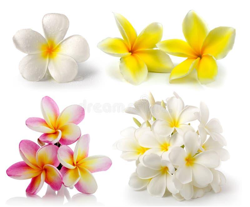 Frangipaniblume auf weißem backgroun stockfoto