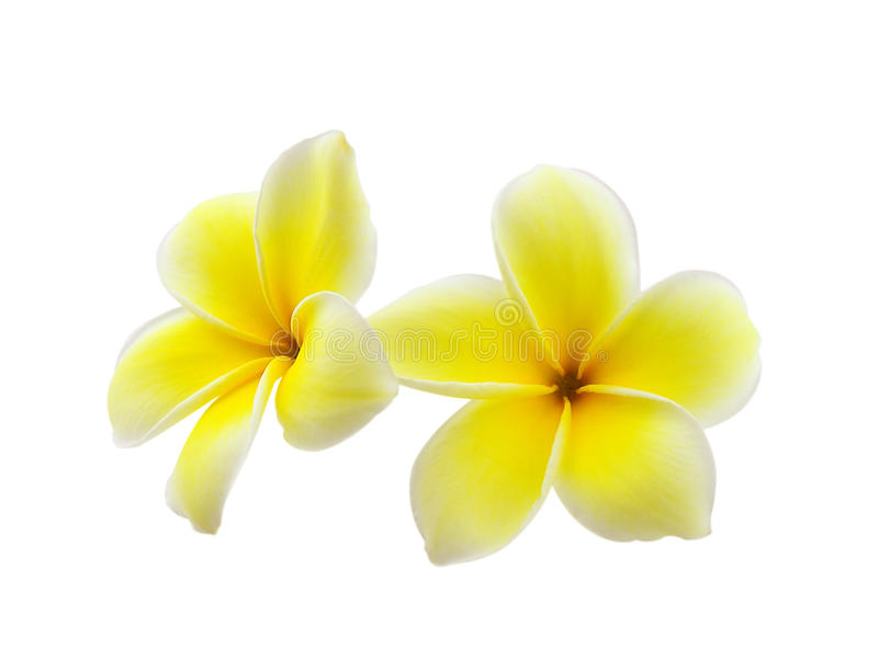 Frangipaniblume auf weißem Hintergrund stockfotografie
