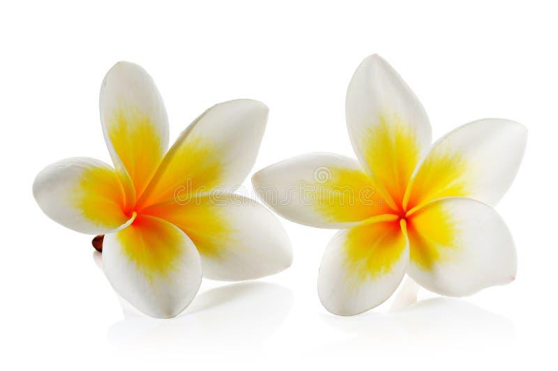 Frangipaniblume auf weißem Hintergrund stockfotos