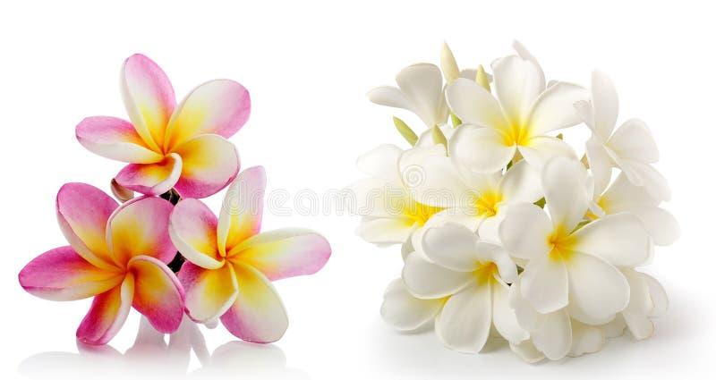 Frangipaniblume getrennt auf Weiß stockfotos
