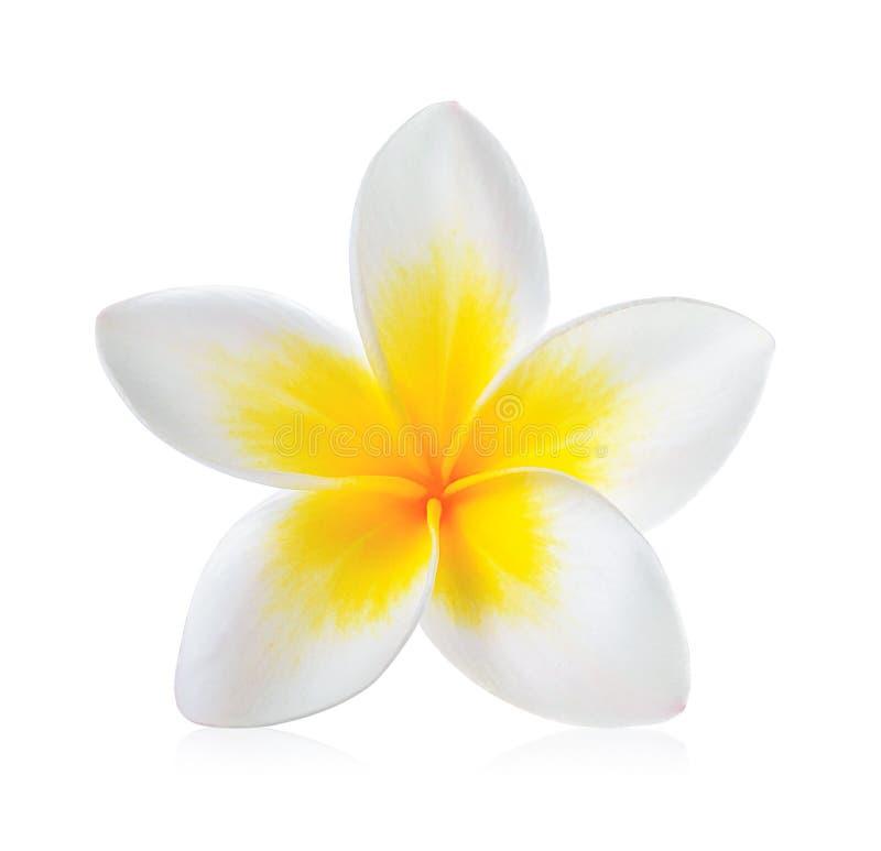 Frangipaniblume lokalisiert auf weißem Hintergrund lizenzfreie stockfotos