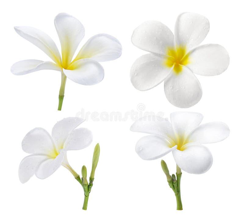 Frangipaniblume lokalisiert auf weißem Hintergrund stockbild