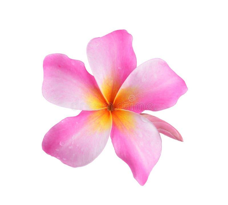 Frangipaniblume lokalisiert auf weißem Hintergrund lizenzfreie stockfotografie