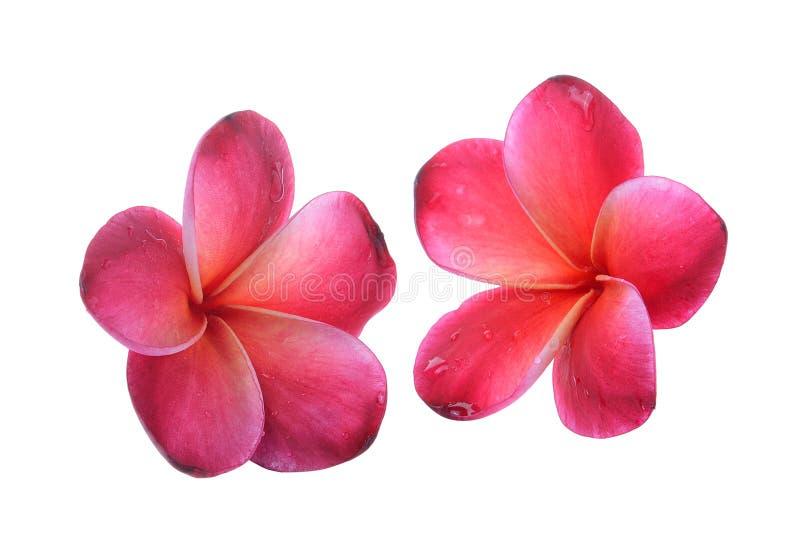 Frangipaniblume lokalisiert auf weißem Hintergrund lizenzfreies stockfoto