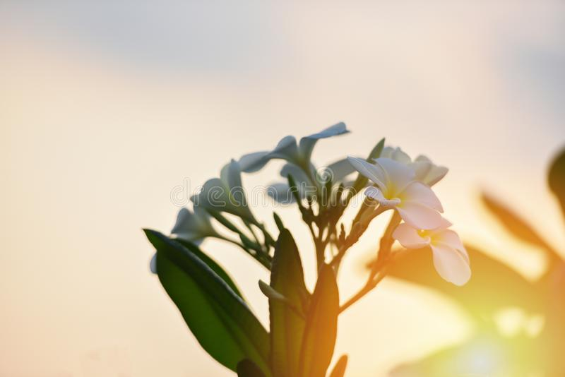 Frangipaniblume oder weißer Plumeria auf Baumsonnenunterganghintergrund lizenzfreie stockfotografie