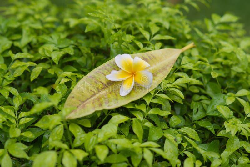 Frangipaniblumen mit Blättern lizenzfreies stockbild