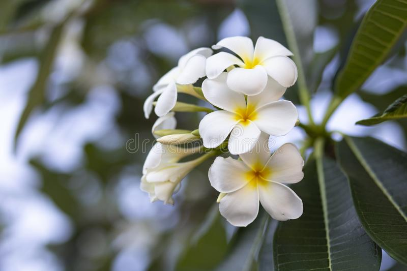 Frangipanien blommar den vita frangipanien och lämnar härligt, begreppet: Spa arom som kopplar av doftsymboler, en bukett av blom arkivbilder