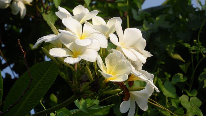 Frangipanien eller frangipanien är en perenn växt i familjskymning- eller plumeriaplumeriaen Det finns flera typer Några tror tha royaltyfria foton