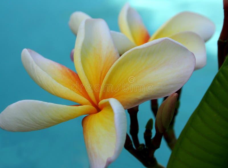 frangipanis στοκ φωτογραφία με δικαίωμα ελεύθερης χρήσης