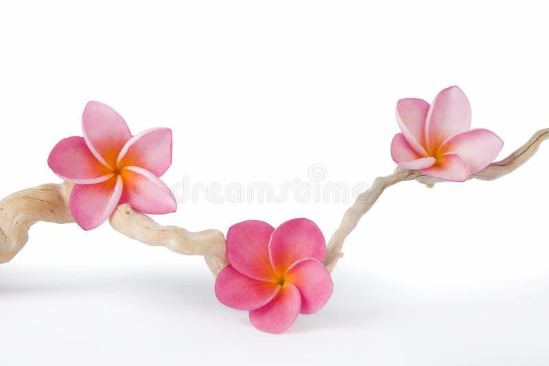 Frangipanis y Driftwood rosados imagen de archivo libre de regalías