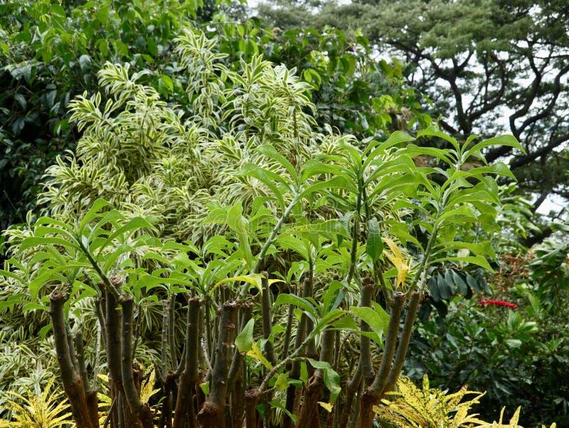 Frangipaniväxt i frodig grön tropisk inställning royaltyfri foto