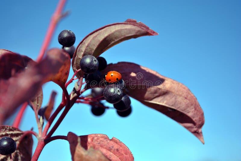 Frangula桤木属桤木鼠李,光滑的鼠李,打破鼠李分支用黑莓果和小红色瓢虫对此 免版税库存照片