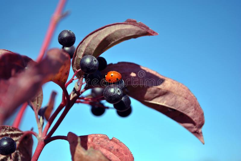 Frangula alnus alder buckthorn, glossy buckthorn, breaking buckthorn branch with black berries and small red ladybug on it. Red leaves on the blue sky royalty free stock photos
