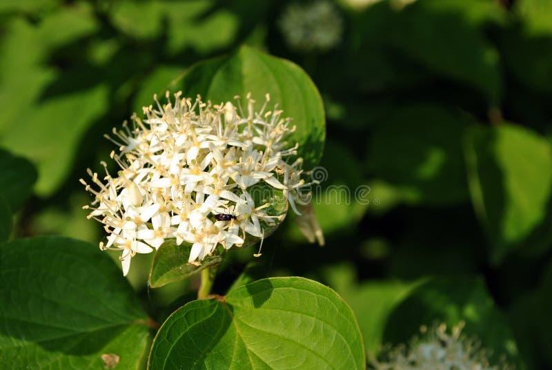 Frangula-Alnusfaulbaum, glatter Wegdorn, buckthornflowering Busch brechend, blühender Abschluss der weißen Blume herauf Detail lizenzfreie stockfotografie
