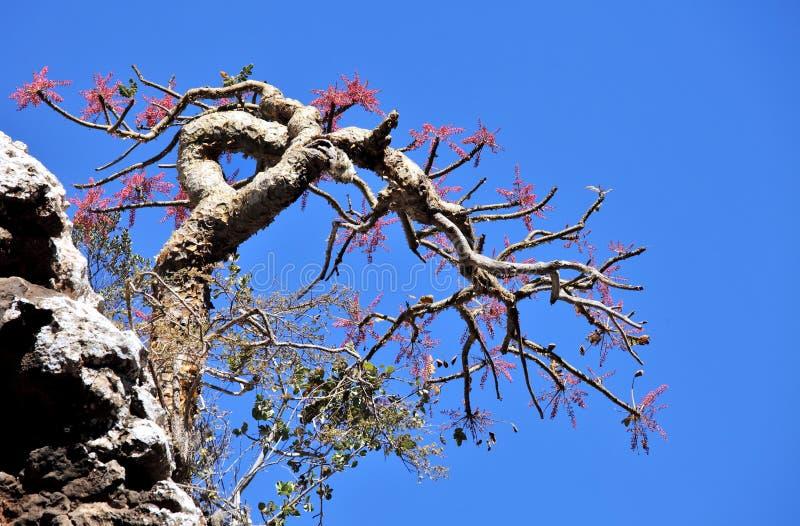Frankincense δέντρο στο άνθος στοκ φωτογραφία