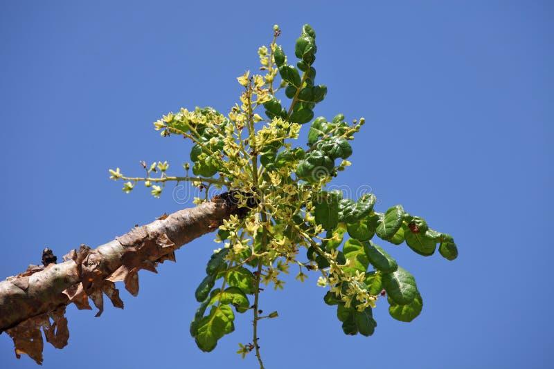 Frankincense δέντρο στο άνθος στοκ φωτογραφία με δικαίωμα ελεύθερης χρήσης