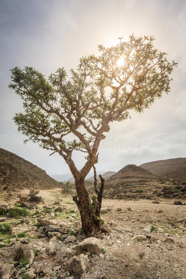 Frankincense δέντρο στοκ φωτογραφία με δικαίωμα ελεύθερης χρήσης