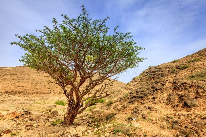 Frankincense δέντρο στοκ εικόνα με δικαίωμα ελεύθερης χρήσης