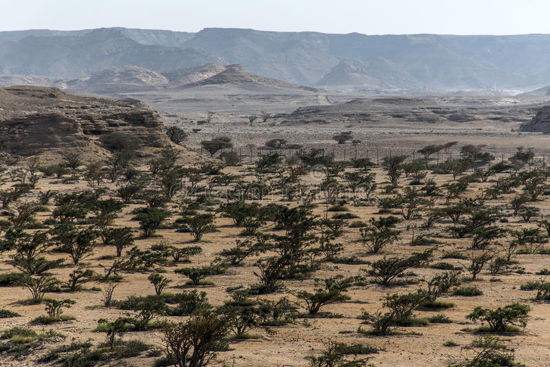 Frankincense έρημος ανάπτυξης γεωργίας plantage εγκαταστάσεων δέντρων κοντά σε Salalah Ομάν 7 στοκ εικόνα με δικαίωμα ελεύθερης χρήσης