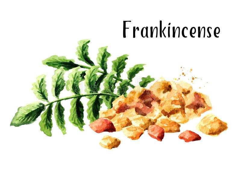 Frankincense dhoop και Frankincense carterii Boswellia φύλλα δέντρων Συρμένη χέρι απεικόνιση Watercolor ελεύθερη απεικόνιση δικαιώματος