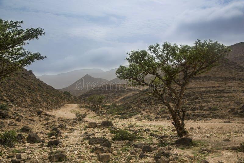 Frankincense drzewa obraz royalty free