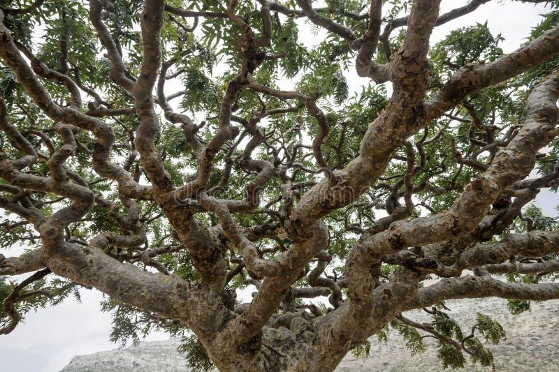 Frankincense drzewa, Boswellia sacra, drzewo zdjęcia royalty free