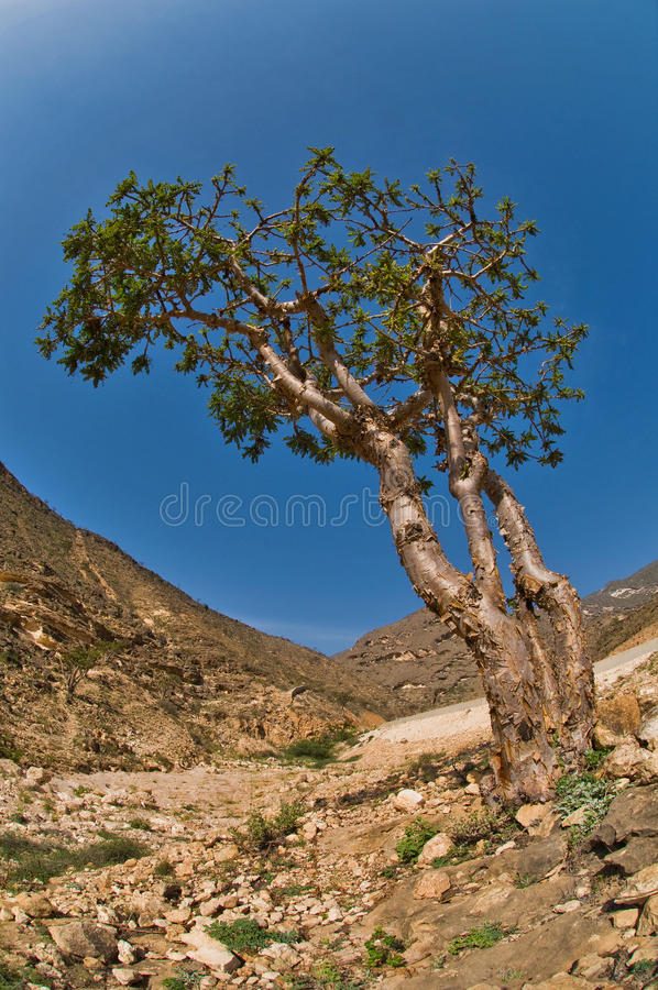 Frankincense tree stock photography