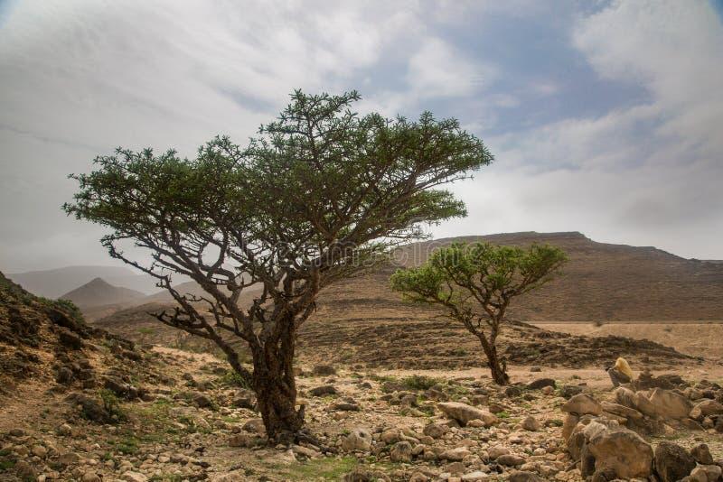 Frankincense tree in Salalah stock photos