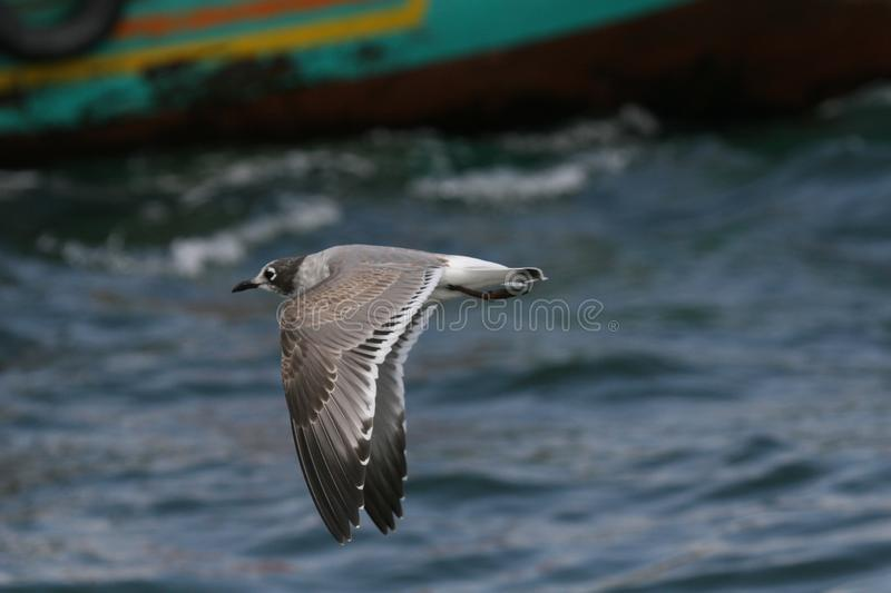 Franklin´s gull flying over the ocean royalty free stock image